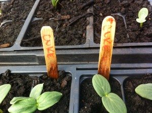 Cuke Seedlings
